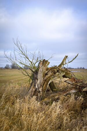 straw twig: Old willow tree in winter. In background is seen the Havelland Landscape near the village Strohdehne.