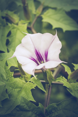 toxic substance: Datura stramonium, Jimson weed or Devils snare, is a plant in the nightshade family.