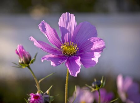 formosa: Cosmos bipinnatus, Commonly called the garden cosmos or Mexican aster is a medium-sized flowering herbaceous plant native to Mexico.