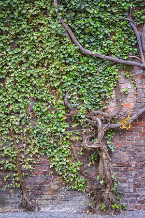 aged: An old ivy tree covered a red brick wall in the city.
