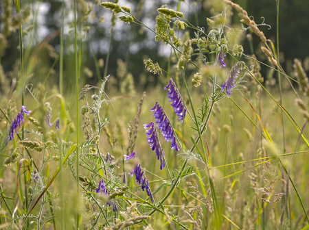 A meadow with various herbs and flowers with Vicia cracca.