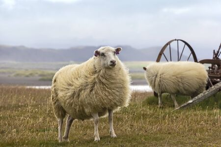 Sheeps standing on the meadow in the north of the wild nature of Iceland.
