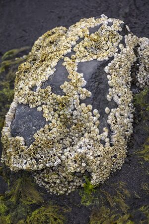 Many barnacles colonize a stone and become really visible at low tide. Seen in Iceland. Barnacles are exclusively marine, and tend to live in shallow and tidal waters, typically in erosive settings.