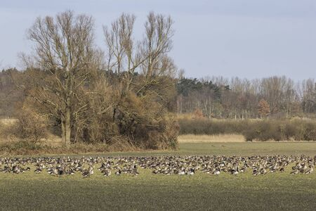 Greater white-fronted gooses and Barnacle gooses on the meadow in winter, Havelland, Brandenburg Stok Fotoğraf - 132614554