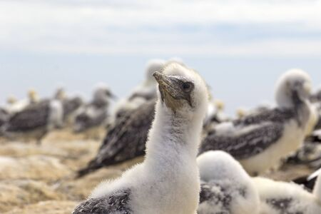 A colony of gannets, with their chicks. Especially curious is a chick that is not fledged yet. Watched in New Zealand, at the Cape Kidnappers. 写真素材