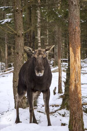 A moose bull is standing in the woods and watching. He has already dropped his antlers. Seen in winter in Sweden.