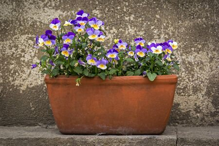A flower pot with pansies or horned violets. Фото со стока