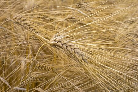 View of a barley field with ripe grain. Close-up of the grains.
