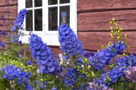 Beautiful larkspur blooms in front of a house in Norway, which is painted in Falun red. Stock Photo