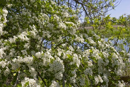 View of a large flowering hawthorn bush. It stands in the middle of the banks of the river Havel. Seen in Brandenburg. Standard-Bild