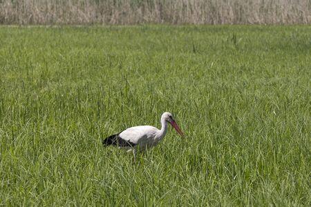 A white stork walks on a wet meadow in fresh green grass. He is looking for food. Seen in Brandenburg. Standard-Bild