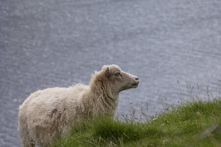 A sheep stands on a cliff and wants to graze. In the background you can see the water surface. Discovered on the Faroe Islands discovered. Standard-Bild