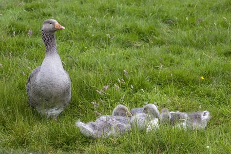 A greylag goose sits with its young in a meadow. The goslings are sleeping. The mother looks after the little ones. Standard-Bild - 149183128