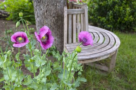 View of a wooden round bench in an allotment garden with flowers, poppies in foreground. There a wonderful place to rest has been created. Standard-Bild