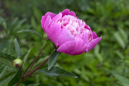 View of a beautiful peony in full bloom. Its colour pink forms a good contrast to the green background. Seen in an allotment garden.
