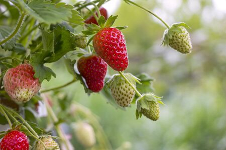Many strawberries hang from a small bush, some are already red and ripe, others are still green. Standard-Bild - 149706069