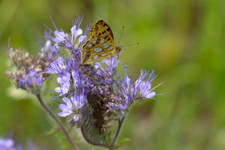 A butterfly sits on a Phacelia plant, also called bee pasture. It is the so-called small mother-of-pearl butterfly, Issoria lathonia.