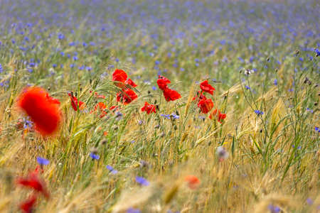 View of a meadow with poppies, cornflowers and cereals. Some areas are in the blurred area. Standard-Bild