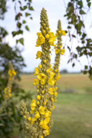 Verbascum blossoms. In gardening and landscaping, Verbascum is valued for the tall narrow stature and for flowering over a long period of time, even in dry soils. What lakes in Brandenburg