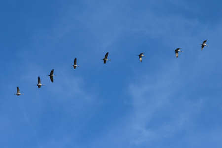 Cranes are migrating in the sky. They fly south. The birds fly in a row. Lakes in Brandenburg.