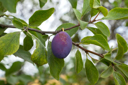 The plums ripen in late summer. Here you can see a typical farm plum on a branch in the garden. Standard-Bild