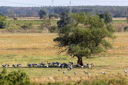 The cranes gather in Brandenburg, before moving south. In large groups they stood in the fields and meadows to eat.