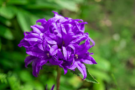 Beautiful purple bellflower on green background. Campanula glomerata in garden. Space for text.