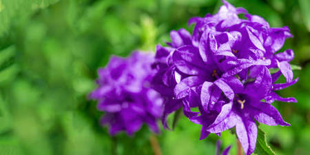 Beautiful purple bellflower on green background. Campanula glomerata in garden. Banner with space for text.