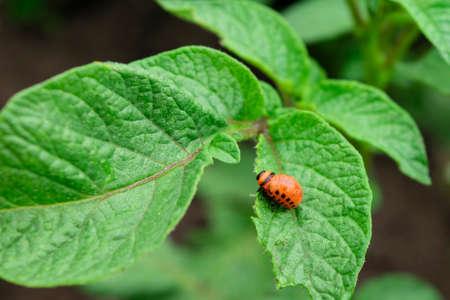 The Colorado bug eating potato leaves. Potato beetle and red larva eating plants.