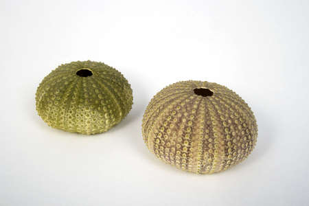 Two sea urchin (green and pink) on a whte background