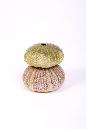 Two isolated sea urchin (green and pink) on a white background