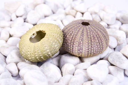 Two sea urchin (green and pink) on the white stones and white background Stock Photo