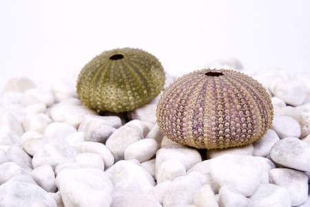 pilluelo: Dos erizo de mar (verde y rosa), sobre la piedra blanca y fondo blanco
