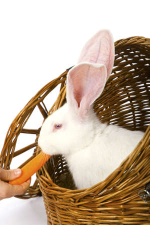 Big-eared, red-eyed white rabbit eating carrot in a basket photo