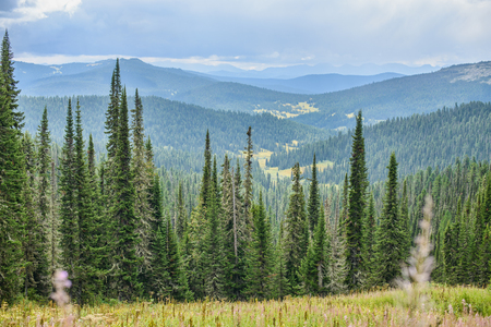 hillside: beautiful spruce forest on the hillside landscape