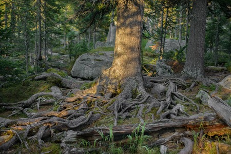 trees with roots: Summer green forest trees roots on rocky soil