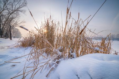 snowy field: yellow herb on snowy field