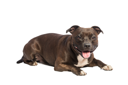 cute pitbull dog Stock Photo