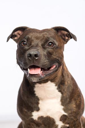 cute pitbull dog Standard-Bild