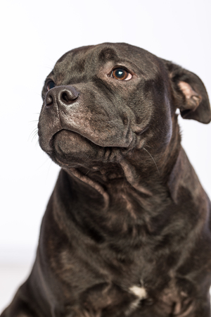 cute pitbull dog Stock Photo