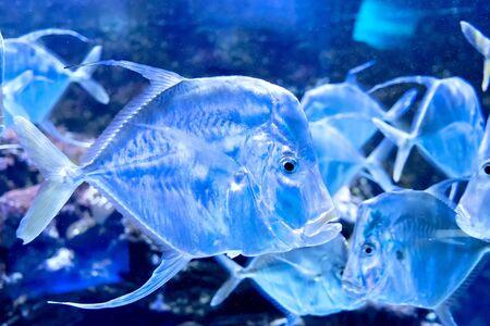 A lot of semi-transparent fishes in aquarium. 版權商用圖片
