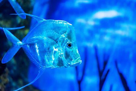 A semi-transparent fish in aquarium.