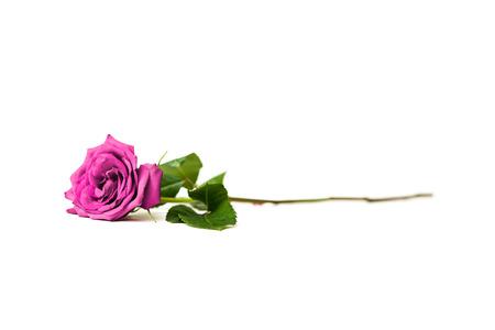 long stem: Purple rose