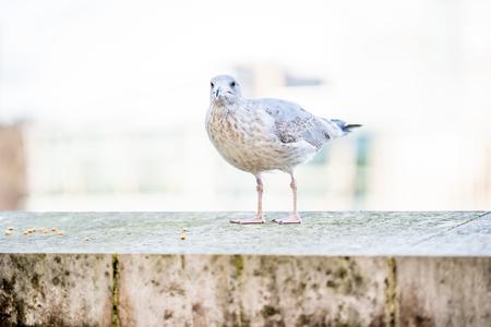 A seagull is staring at the camera. Shallow depth of field and selective focus on eye. Banque d'images
