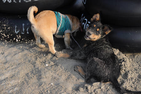 two puppy dig sand