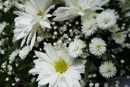 White Daisies Stok Fotoğraf