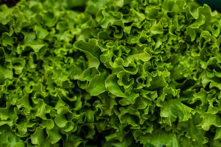 Close up of romaine lettuce from the garden is on sale in the market. Fresh vegetables concept