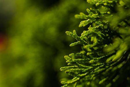 Macro image of green plant, background A large green bush grows in the garden, picture with a focus on a small twig