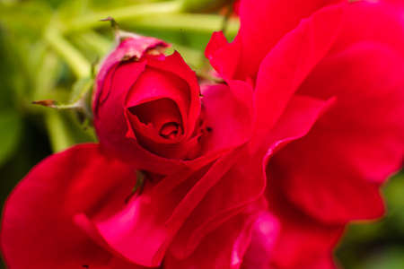 Picture of a pretty rose with a beautiful red color, background