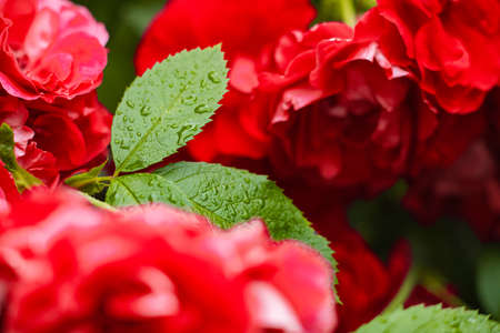 Picture of a bush of red roses blooming in the garden after rain 版權商用圖片